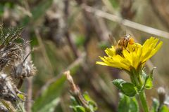 Miodowej pszczoły Zbieracki Pollen Od Żółtej rośliny zdjęcia stock