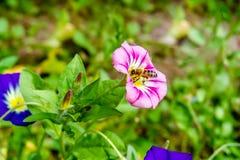 Miodowej pszczoły zbieracki nektar Obraz Stock