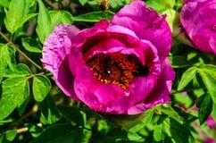 Miodowej pszczoły zbieracki nektar od kwiatów drzewna peonia Obraz Stock