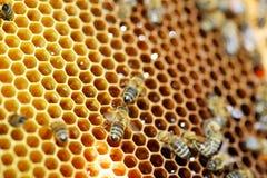 miodowi honeycombs Obraz Royalty Free