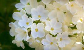 Miodowy biały lily zakończenie z selekcyjną ostrością, obraz stock