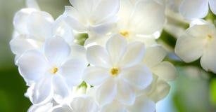 Miodowy biały lily zakończenie z selekcyjną ostrością, zdjęcie stock