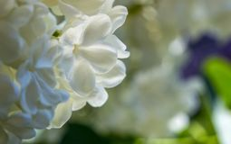 Miodowy biały lily zakończenie z selekcyjną ostrością, zdjęcie royalty free