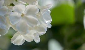 Miodowy biały lily zakończenie z selekcyjną ostrością, fotografia stock