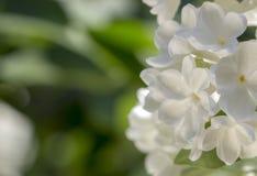 Miodowy biały lily zakończenie z selekcyjną ostrością, zdjęcia stock