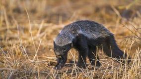 Miodowy borsuk w Kruger parku narodowym, Południowa Afryka Obraz Royalty Free
