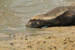 Miodowy borsuk wojownik format - przyrody tło od Afryka - Zdjęcie Royalty Free