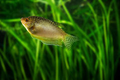 Miodowy gourami - tropikalna akwarium ryba Zdjęcie Stock