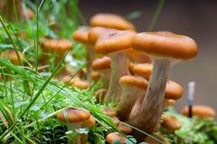 Miodowy grzyb Zdjęcia Stock