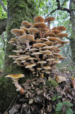 Miodowy grzyb zdjęcie royalty free