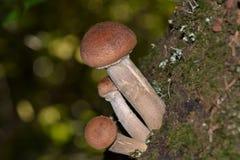 Miodowy grzyb na fiszorku Zdjęcie Royalty Free