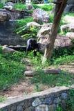 Miodowy niedźwiedź Fotografia Stock