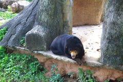 Miodowy niedźwiedź Zdjęcia Stock