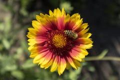 Miodowy pszczoły gromadzenia się nektar od galardia kwiatu Obraz Stock