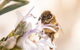 Miodowy pszczoły karmienie na białym kwiacie Zdjęcie Royalty Free