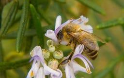 Miodowy pszczoły karmienie na białym kwiacie Zdjęcia Stock