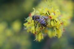Miodowy pszczoły lądowanie na Żółtych kwiatach zdjęcia stock