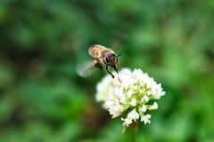 Miodowy pszczoły latanie Wokoło Białej koniczyny kwiatu fotografia royalty free