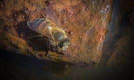 Miodowy pszczoły pić Obraz Stock