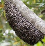 Miodowy pszczoła rój Obrazy Stock