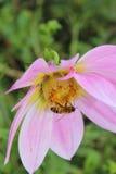Miodowy pszczoły Colecting nektar Fotografia Stock