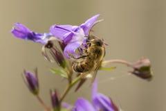 Miodowy pszczoły zapylanie Obrazy Royalty Free