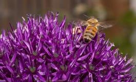 Miodowy pszczoły zgromadzenia nektar na Purpurowym Allum kwiacie Zdjęcia Royalty Free