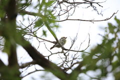 Miombo pied barbet Stock Photo