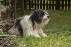 Mioritic dog of romania. Sitting Royalty Free Stock Photography