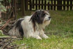 Mioritic hund av Rumänien royaltyfri fotografi