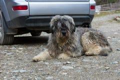 Mioritic romanian shepherd dog guarding a car. Portrait of mioritic romanian shepherd dog guarding a car Royalty Free Stock Photos
