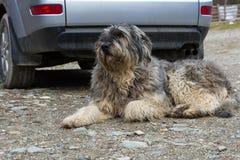 Mioritic romanian shepherd dog guarding a car. Portrait of mioritic romanian shepherd dog guarding a car Royalty Free Stock Image