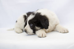 Mioritic shepherd puppy isolated Stock Photography
