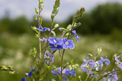 Miosótis azuis Imagens de Stock