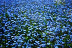 Miosótis azuis Foto de Stock Royalty Free