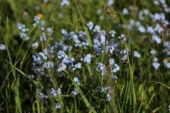 Miosótis azuis na grama selvagem fotografia de stock royalty free
