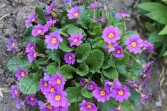 Miosótis bonitos e delicados pequenos das flores foto de stock royalty free