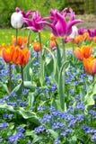 Miosótis colorido das tulipas Imagem de Stock Royalty Free