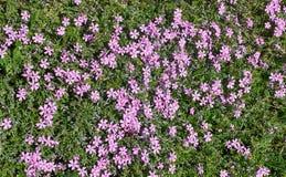 Miosótis cor-de-rosa Imagens de Stock