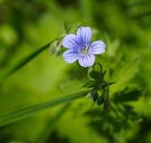 Miosótis da flor da floresta. Foto de Stock Royalty Free