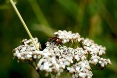 Miosótis da flor da floresta Imagens de Stock Royalty Free