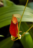miotacz mięsożerna roślina zdjęcia stock