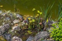 Miotacz roślina blisko lokalnego stawu zdjęcie stock