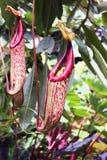 Miotacz roślina w ogródzie zdjęcie royalty free