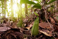 Miotacz rośliny dzbaneczników tentaculata zdjęcie royalty free