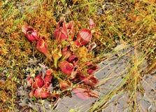 Miotacz rośliny i torfowa mech w bagna bagnie zdjęcia royalty free