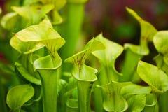 miotacz roślina Zdjęcia Royalty Free