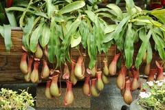 miotacz roślina Fotografia Royalty Free