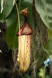 Miotacz roślina Obraz Stock
