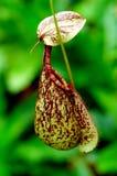 Miotacz roślina Zdjęcie Stock